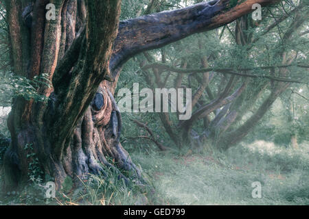 an old, mystical tree in the fog - Stock Photo