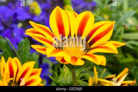 Gazania rigens ornamental garden plant, growing in Summer in West Sussex, England, UK. Gazanias. - Stock Photo