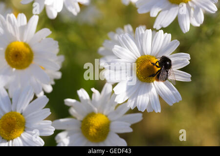 Oxeye Daisy with Bumble Bee close up. - Stock Photo