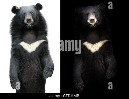 asiatic black bear in dark background and asiatic black bear on white - Stock Photo