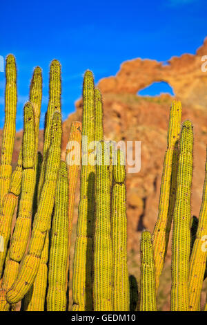 geography / travel, USA, Arizona, Organ Pipe Cactus with Arch in backfround, Ajo Range Mountains, Organ Pipe National - Stock Photo