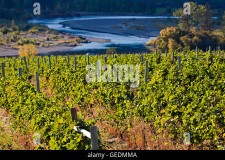 geography / travel, Canada, British Columbia, Okanagan-Similkameen B, Rows of grapevines growing at a vineyard in - Stock Photo