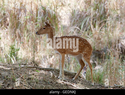 young Chital  (Axis axis) also known as spotted deer - Stock Photo