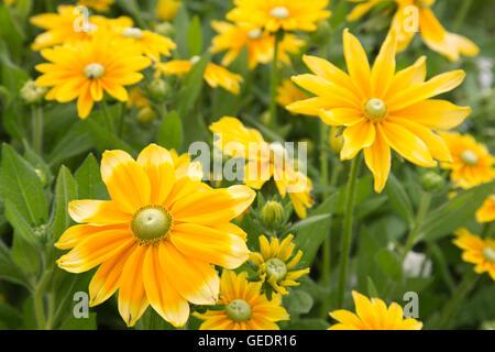 Rudbeckia 'Prairie Sun' (Gloriosa Daisy) on display at RHS Wisley Gardens, Surrey, England, UK - Stock Photo