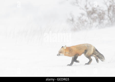 Red Fox (Vulpes vulpes) adult, walking in snow during blizzard, Churchill, Manitoba, Canada. - Stock Photo