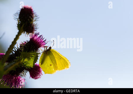 yellow common brimstone butterfly (Gonepteryx rhamni) in backlight - Stock Photo