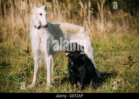 Small Size Black Mixed Breed and Hunting Dog and White Russian Borzoi, Borzaya Staying Together Outdoor - Stock Photo