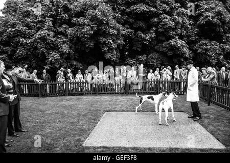 Greenwells, Bowden, Scottish Borders, UK. 24th July 2016. The Duke of Buccleuch Hunt Puppy Show 2016. - Stock Photo