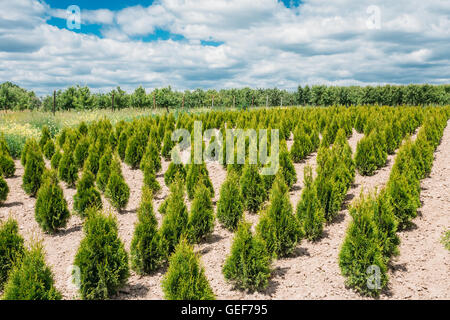 The Summer Spring Plantation Of Thuja Or Thuya Seedlings, Planted Rows On Sandy Soil. Coniferous Small Bushes. The - Stock Photo
