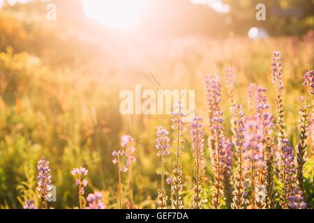 Wild Bloomy Flowers Lupine In Summer Spring Meadow Glade Field Sunlight Of Sunset Sunrise