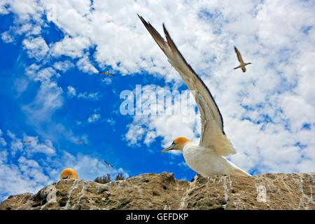 Zoology / animals, avian / birds, Australia, North Island, Australasian Gannets, (Morus serrator or Sula bassana, - Stock Photo
