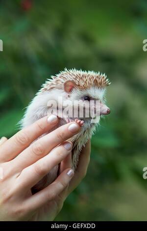 Young hedgehog in hands - Stock Photo
