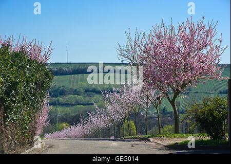 Almond trees, Rhineland-Palatinate - Stock Photo