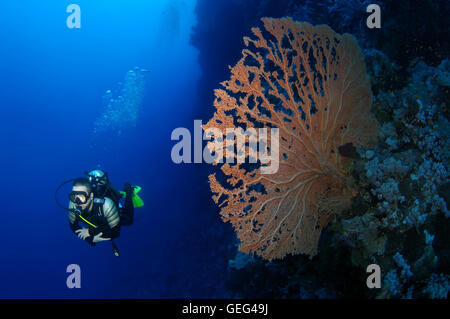 Male scuba diver with a soft coral - gorgonian seafan (Gorgonia flabellum), Red sea, Egypt, Africa - Stock Photo