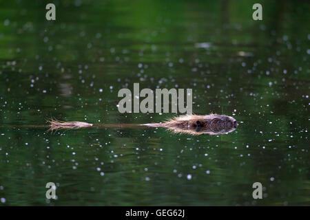 Eurasian beaver / European beaver (Castor fiber) swimming in pond - Stock Photo
