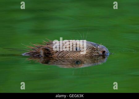 Close up of head of Eurasian beaver / European beaver (Castor fiber) swimming in pond - Stock Photo
