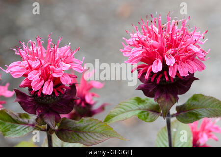 Tubular pink flowers in the head of the Bergamot, Monarda 'Beauty of Cobham' - Stock Photo