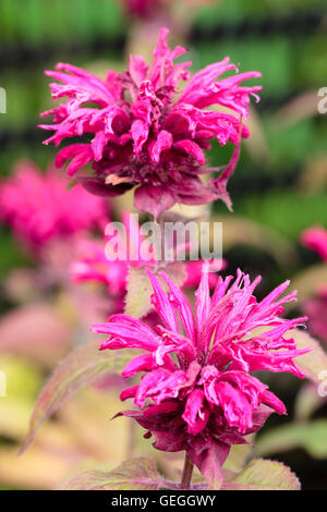 Red pink flowers in whorls of the bergamot, Monarda 'Earl Grey' - Stock Photo