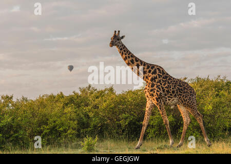 Giraffe walking over the savanna with bushes in background and an air-balloon is seen in the sky at sunrise, Masai - Stock Photo