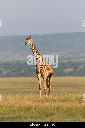 Giraffe in nice warm light standing on the savanna, Masai Mara, Kenya, Africa - Stock Photo