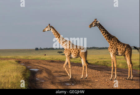 Two Giraffes in nice warm light on the savanna in Masai Mara, Kenya, Africa - Stock Photo