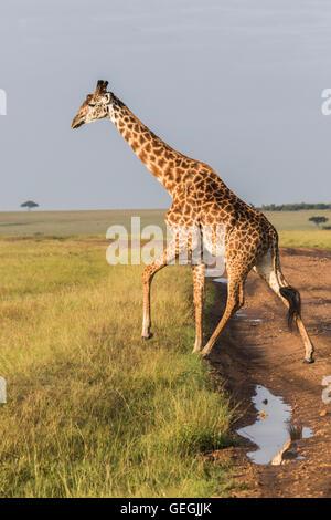 Giraffe in nice warm light crossing a road in Masai Mara, Kenya, Africa - Stock Photo
