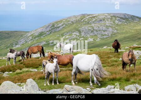 Wild Welsh Mountain Ponies with foals on slopes of Garnedd Gwenllian in Carneddau mountains of Snowdonia National - Stock Photo
