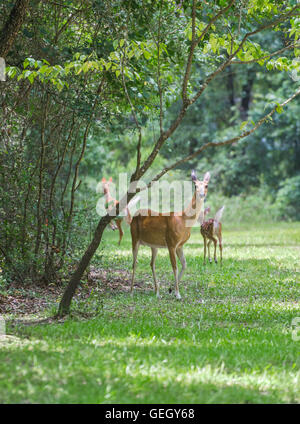 Mother deer and her twin fawns in North Central Florida. - Stock Photo