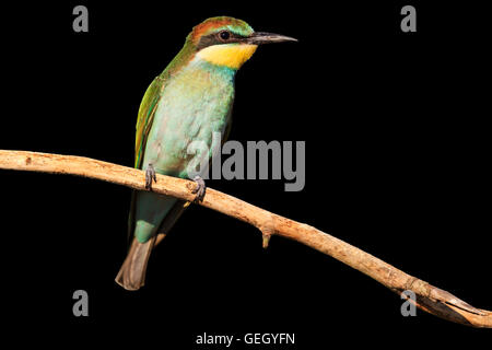 young bird with green plumage isolated on black - Stock Photo