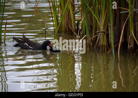 Moorhen feeding chick - Stock Photo