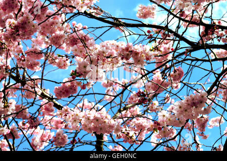 Tree branches with pink cherry blossoms against blue sky - Stock Photo