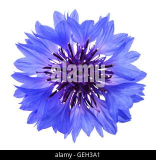 Blue cornflower (Cyanus segetum) isolated on white background - Stock Photo