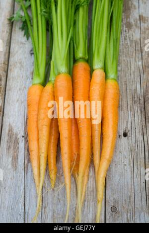 Carrots, Daucus carota, 'Amsterdam Forcing 3', washed and ready for the kitchen. - Stock Photo