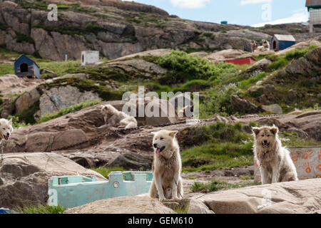 Greenland Huskies (Canis lupus familiaris borealis) chained up outside in summer. Sisimiut (Holsteinsborg), Qeqqata, - Stock Photo