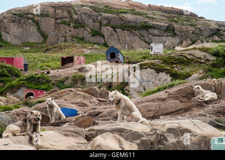 Greenlandic Huskies (Canis lupus familiaris borealis) dogs chained up outside in summer. Sisimiut (Holsteinsborg), - Stock Photo