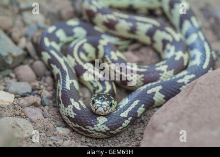 California King Snake Desert Phase Lampropeltis Getula - California king snake morphs