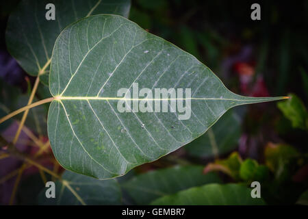 close up of a peepal leaf - Stock Photo
