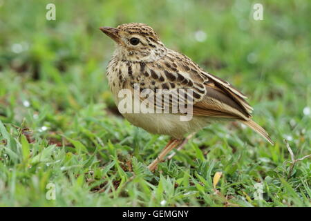 The Indochinese bush lark (Mirafra erythrocephala) is a species of lark in the Alaudidae family. - Stock Photo
