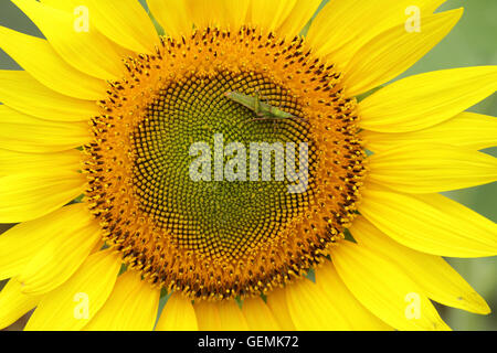Green fly in Sunflower  with natural background. Sunflower blooming. - Stock Photo