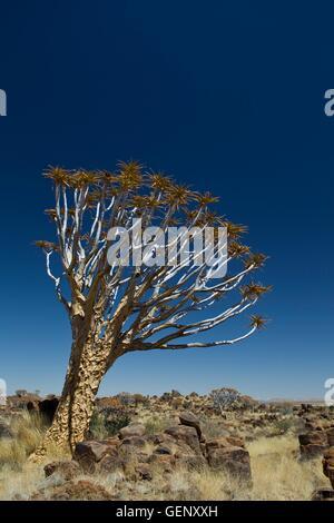 Quiver tree, Namibia - Stock Photo