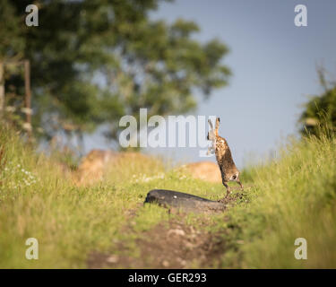 Brown Hare on path, in full leap, wet from bathing in puddle (Lepus europaeus) - Stock Photo