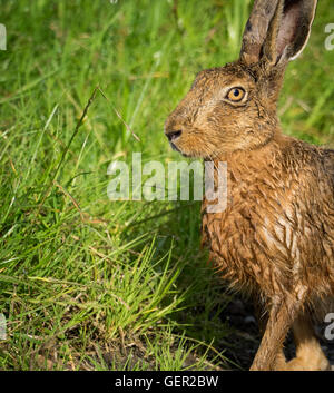 Brown Hare on path in grass wet from bathing in puddle (Lepus europaeus) - Stock Photo