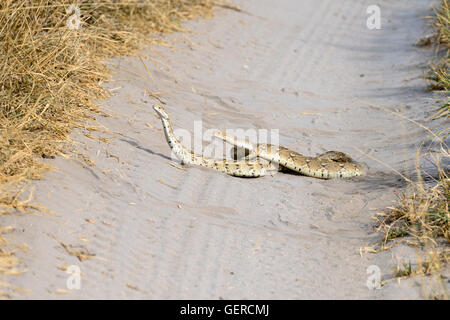 Puff Adder, Central Kalahari Game Reserve, Botswana, Snake, (Bitis arietans) - Stock Photo
