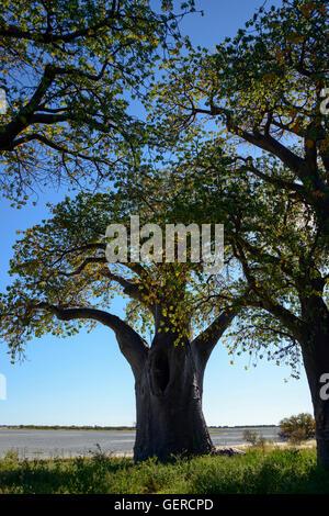 Baines Baobabs, Kudiakam Pan, Nxai Pan National Park, Botswana - Stock Photo