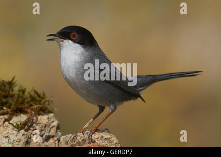 Sardinian Warbler (Sylvia melanocephala), Male, Benalmadena, Malaga, Andalusia, Spain - Stock Photo