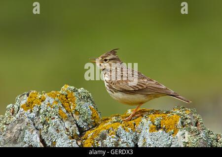 Crested Lark (Galerida cristata), Malaga province,  Andalusia, Spain - Stock Photo