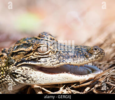 Young American Alligator , close up - Stock Photo