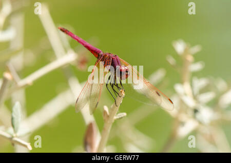 Broad scarlet, common scarlet-darter, scarlet darter, Crocothemis erythraea, dragonfly, Andalusia, Spain. - Stock Photo