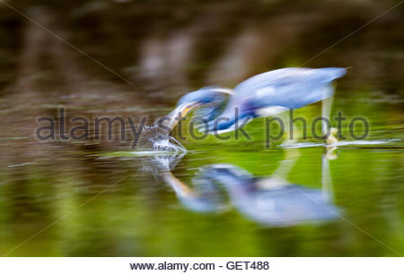 Tricolored Heron strikes at fish in shallows - Stock Photo