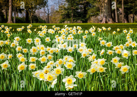 Daffodils at the Bowood Estate in Wiltshire. - Stock Photo